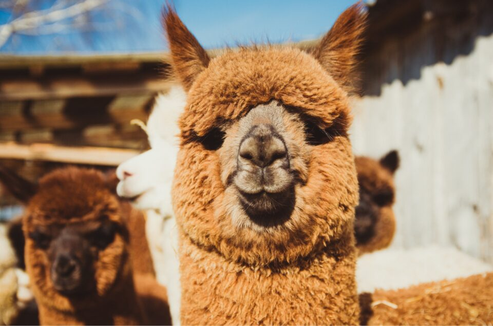 Alpaca Antibodies Neutralize New Variants