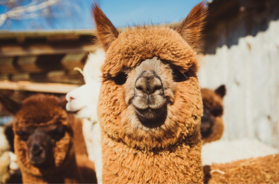 Alpaca Antibodies Neutralize New Variants